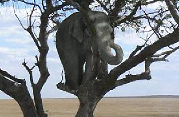 Elephant in a Tree.jpg