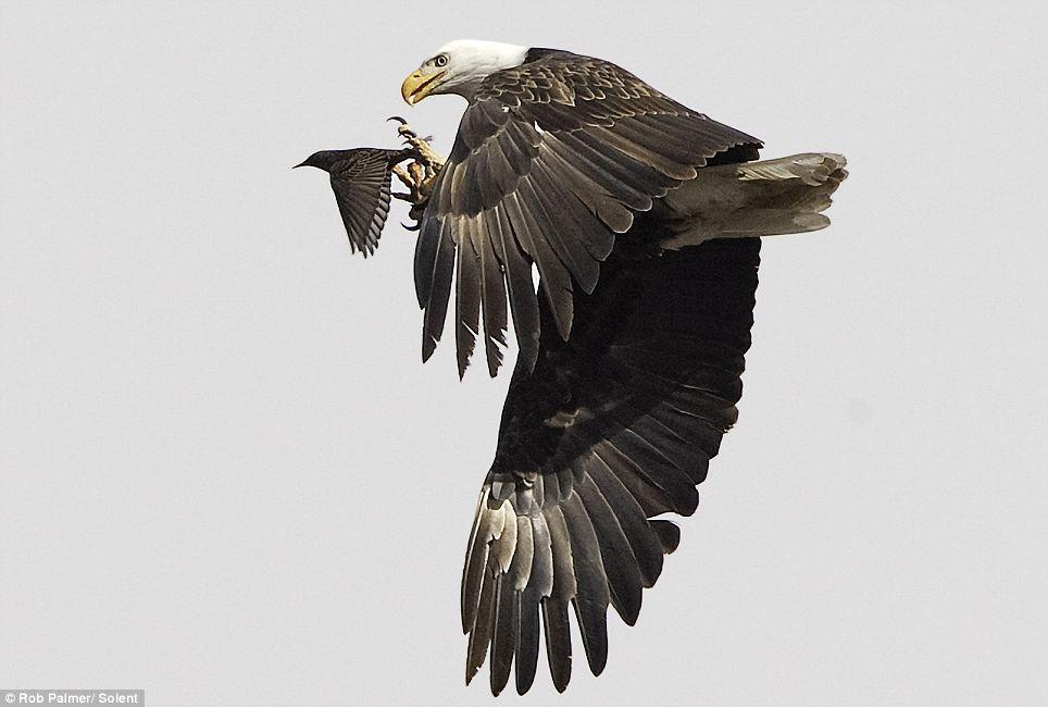 Bald Eagle3.jpg