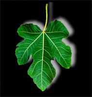 Fig Leaf.jpg