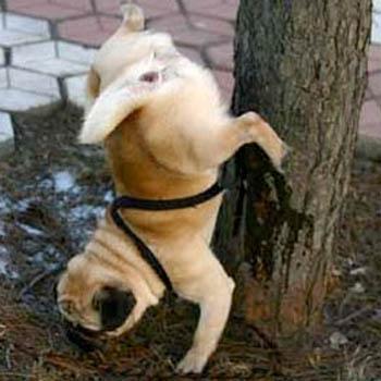 Pug Pee.jpg